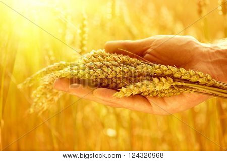 Wheat ears in man's hands. Harvest, harvesting concept, Young farmer in field touching his wheat ears. Crop protection. Cultivated agricultural wheat field. Sun light, backlit