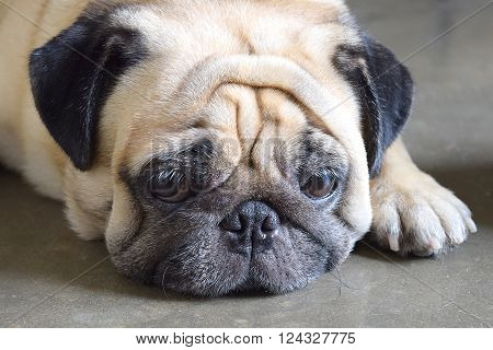 Closeup of a cute Pug dog laying down