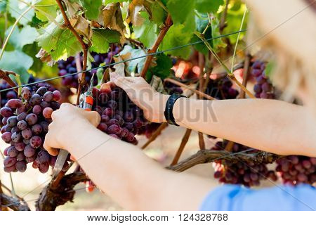 Man holding grapes in the vineyard