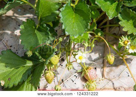 Strawberry field strawberry farm in Chiangmai Thailand