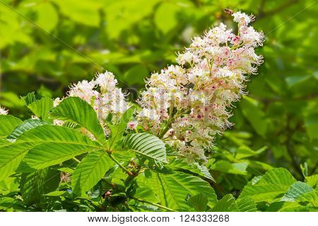 Panicle with flowers of horse-chestnut on the background of foliage closeup