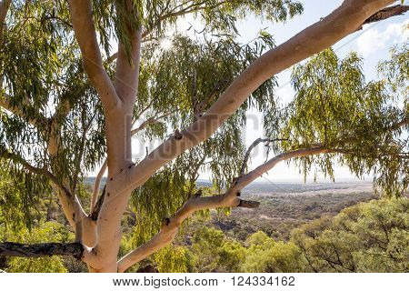 Looking into canopy of Australian native Eucalyptus / Gum tree