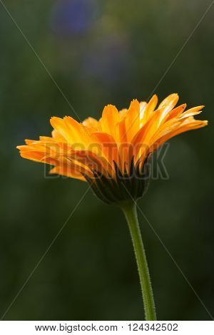 an orange pot marigold in full bloom