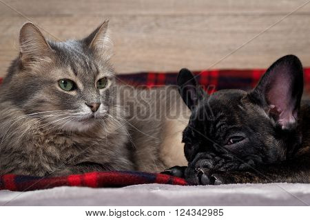 Dog and cat together lying on the bed. Checkered red plaid. Pedigreed Dog, French Bulldog. Purebred cat, fluffy, large and gray. Friendship of cat and dog. The contents of the house animals