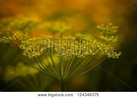 a flowering dill plant ready for harvest