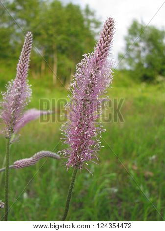 Lilac fluffy field of grass spikelet on the background of summer landscape.