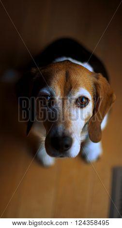 Older Beagle Staring Up at The Camera