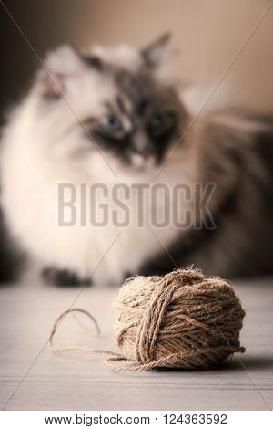 Blurred Siberian cat with clew background, relaxation