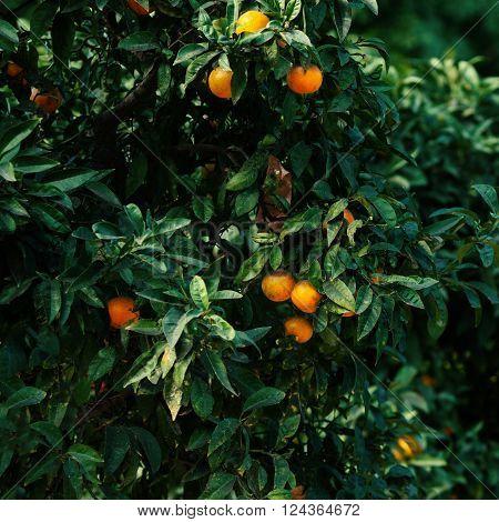 ORANGE TREE / Orange fruits with leaves may use as background