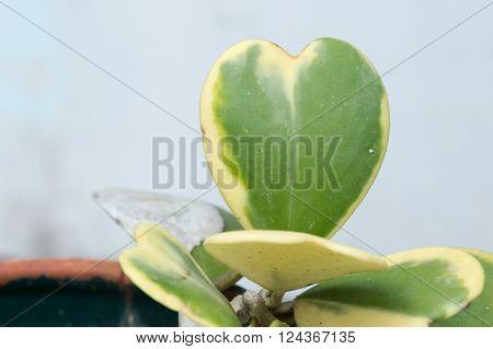 Hoya Kerrii Craib In Pot (heart Shaped Plant), Sweetheart Hoya