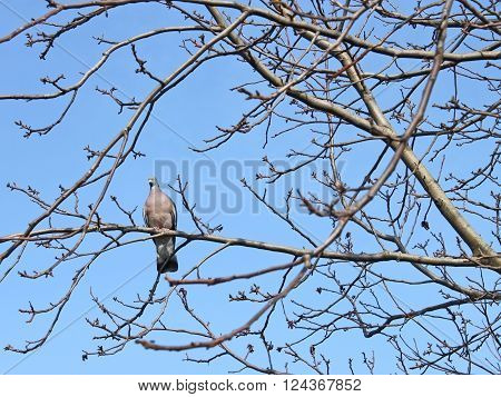 Bird turtledove sitting on the bare tree branches against the blue sky in early spring