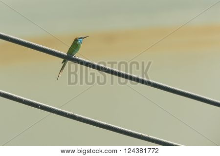 Little green bee eater perched on a power line