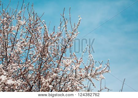 Branches of spring apricot or cherry trees with flowers. Tree Blooming.