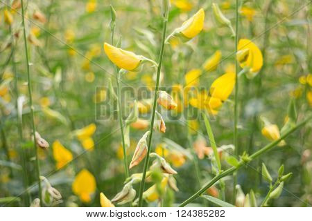 Organic sun hemp flower in farm stock photo