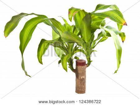 Dracaena on a thick stalk. isolated on white background
