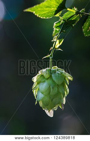 Close-up of a backlit common hop cone ripe for picking and used as raw material for beer production (Humulus lupulus). Organic clean agricultural industry beer production raw materials concept.