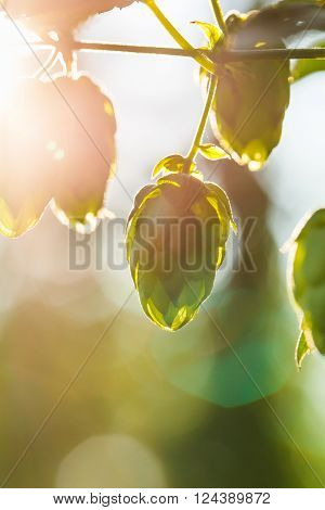 Close-up of a sunlit common hop cones ripe for picking and used as raw material for beer production (Humulus lupulus). Organic clean agricultural industry beer production raw materials concept.