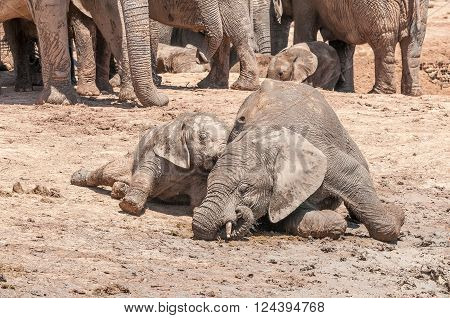 Two mud covered African Elephant calves Loxodonta africana playing