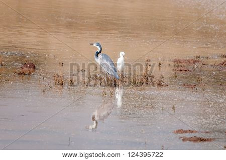 A black-headed heron. Ardea melanocephala, and a cattle egret, Bubulcus ibis, in a dam