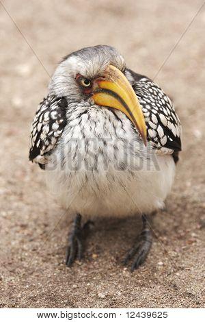 Glowering Hornbill