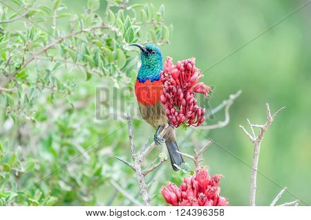 A male greater double-collared sunbird, Cinnyris afer, next to a flower