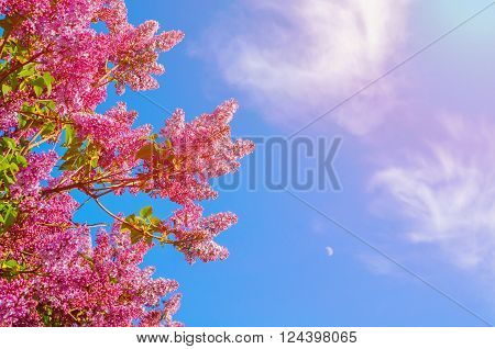 Spring floral background - purple blossoming lilacs flowers against blue sky lit by sunny light. Free space for text