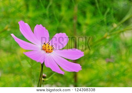 Closeup of pink cosmos flower - in Latin Cosmos Bipinnatus. Summer floral background. Selective focus at the flower