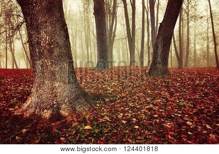 Autumn foggy forest with old bare trees and fallen red leaves on the ground. Colorful mysterious landscape in vintage warm tones. Soft filter applied