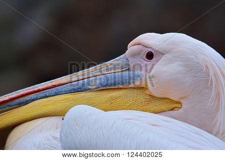 White Pelican's Head
