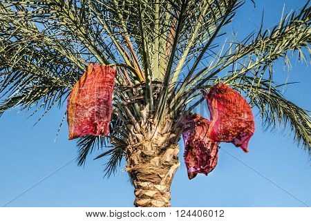 Palm with dates in the grid with sky in background