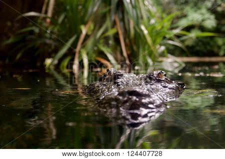 Estuarine crocodile (Crocodylus porosus) peeking out of the water.