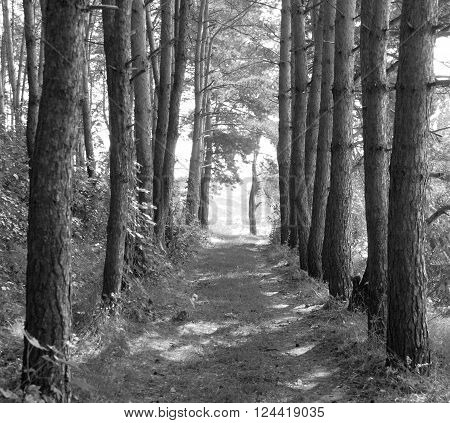 summer landscape, pine forest, forest road, black and white landscape