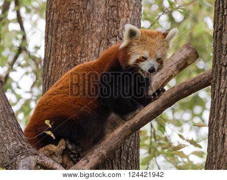 smart funny furry red panda with black paws sits high on a tree