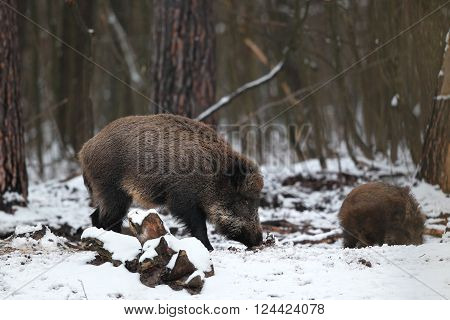 Female and cub boar digging snow in the forest