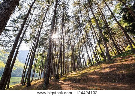 Pine trees against sunlight with lens flare at Pang Ung (Pang Tong reservoir) Mae Hong Son province Thailand
