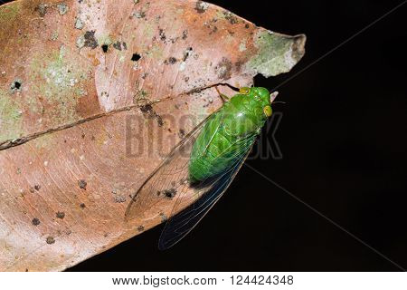 Close up of green cicada on dried leaf, dorsal view, flash fired