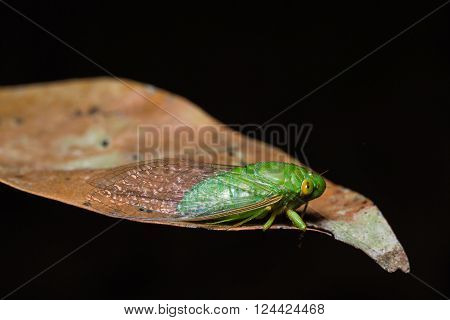 Close up of green cicada on dried leaf side view flash fired