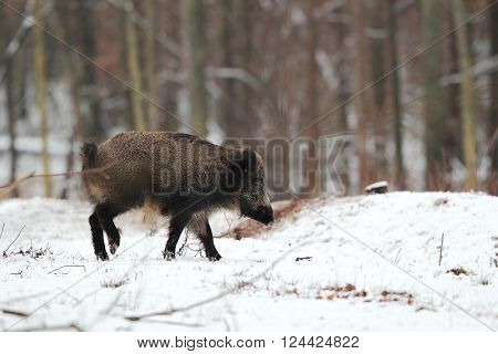 Wild boar running on the snow in the forest