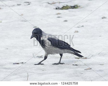 Hooded Crow Corvus cornix portrait on snow early spring closeup selective focus shallow DOF