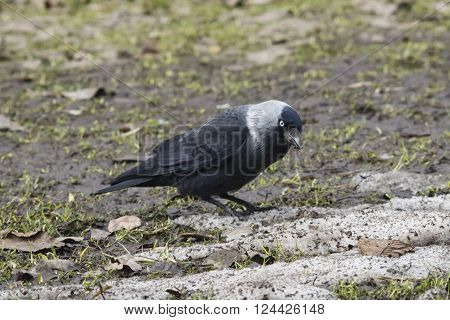 Jackdaw bird Corvus monedula on ground portrait selective focus shallow DOF.