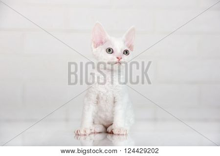 adorable devon rex kitten in the studio