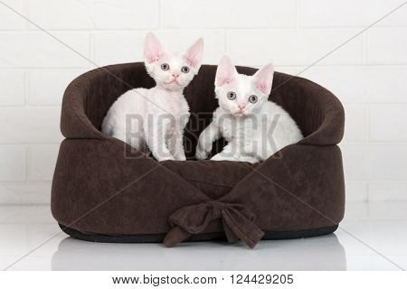 two adorable devon rex kittens posing together