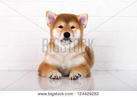 adorable red shiba inu puppy posing on white
