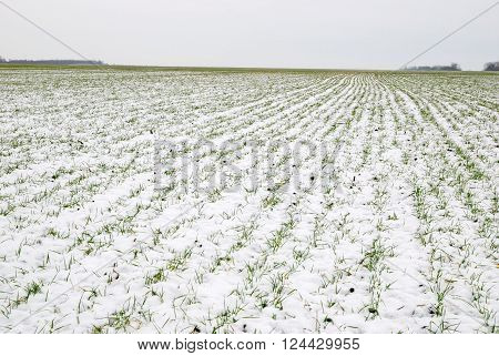 Young wheat sprouts through snow at morning