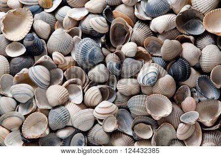 Common cockles full-sized - sea shells on the beach