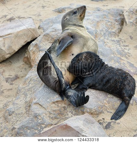 Baby Cape Fur Seal With His Mother