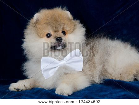 Cute Pomeranian puppy wearing a white bow tie (on a blue background)
