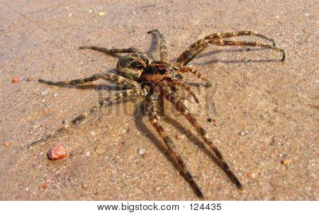 Huge Wolf Spider 3