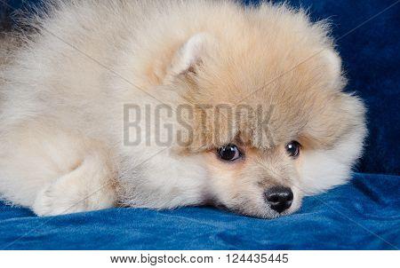 Cute tired Pomeranian puppy lying on a blue sofa