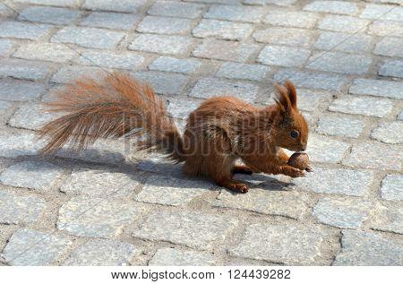 Squirrel catching nut.
